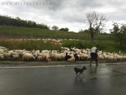 beszterce megye juhok pásztor családfakutatás erdély